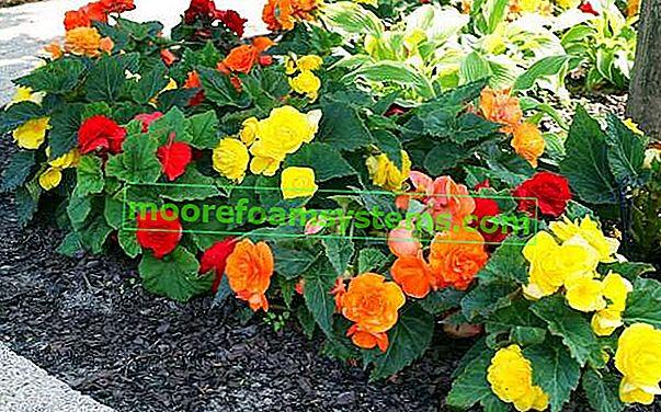 Hlízovitá begónie - pěstování, péče, výsadba a další tipy