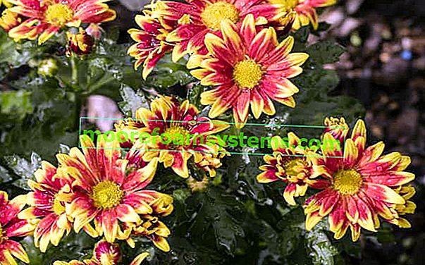 Afrička tratinčica (osteospermum) - sadnja, uzgoj, njega, razmnožavanje, zahtjevi