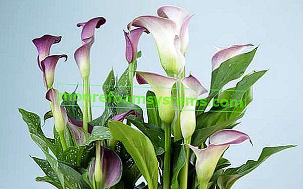 Cvijet Calla kod kuće - uzgoj, briga, zalijevanje prekrasnog cvijeta u saksiji