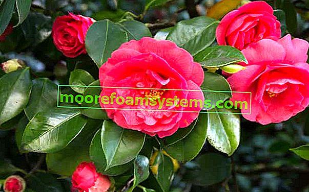 Kamelija - japanska i druge - sorte, njega grma, savjeti