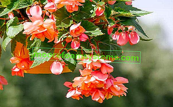 Viseća (viseća) begonija - zahtjevi, uzgoj, njega, razmnožavanje, zimovanje, cijene