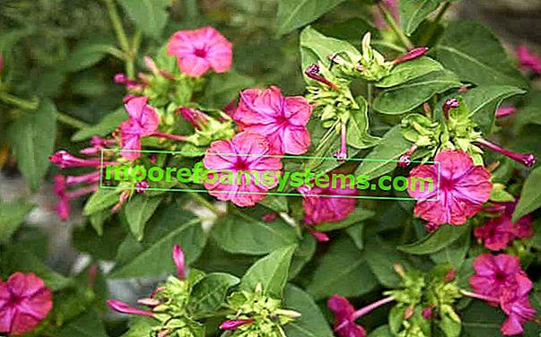 Jalapa nakaza - kako saditi, uzgajati i brinuti se za ovaj prekrasni cvijet?