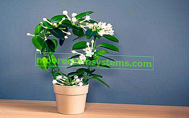 Buket Stefanotis - lijep kućni cvijet - uzgoj, njega, zalijevanje