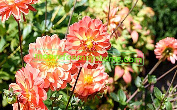 Cvjetovi dalija - sorte, sadnja, uzgoj, njega u vrtu i u posudama