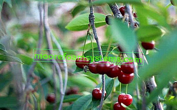 Trešnja Łutówka - opis, sadnja, uzgoj, njega, mišljenja, savjeti