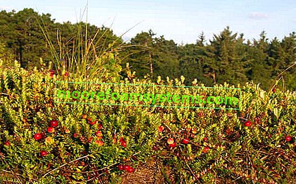Uzgoj brusnice na parceli i u vrtu - sorte, sadnja, njega