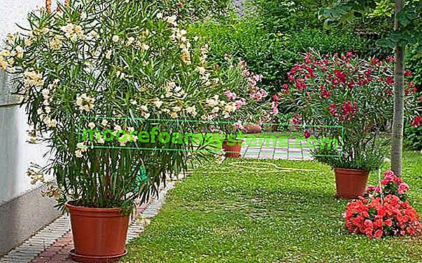 Uobičajeni oleander - njega, bolesti, zimovanje i drugi savjeti