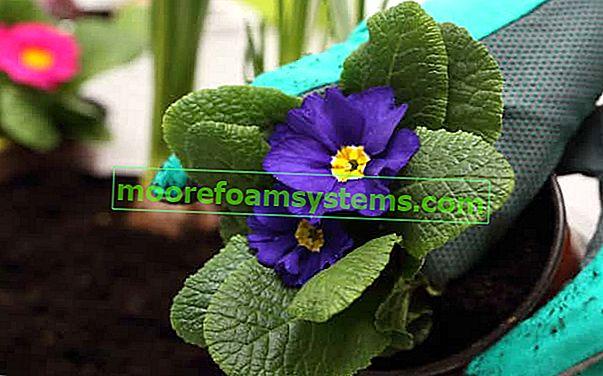 Vrtna primula - sorte, uzgoj, zalijevanje, njega