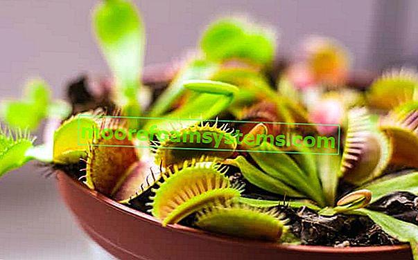 Američka muha Venus - sorte, cijena, uzgoj, njega