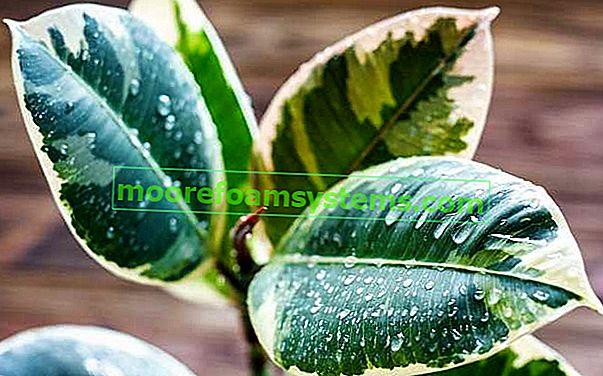Ficus nebo populární ficus - odrůdy, péče, pěstování, tipy