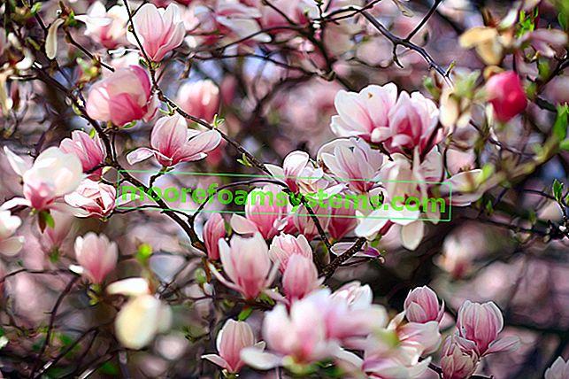 Cijene magnolije - pogledajte koliko koštaju različite sorte ovog stabla