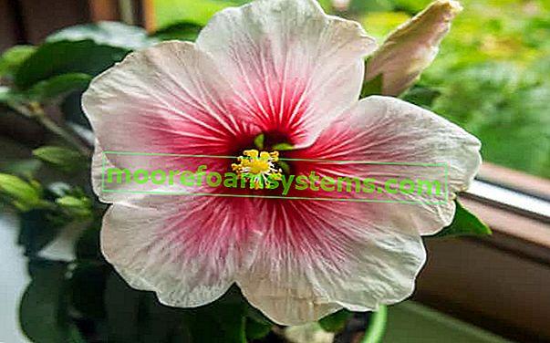 Hibiskus kineska ruža - sorte, uzgoj, njega, zalijevanje, razmnožavanje