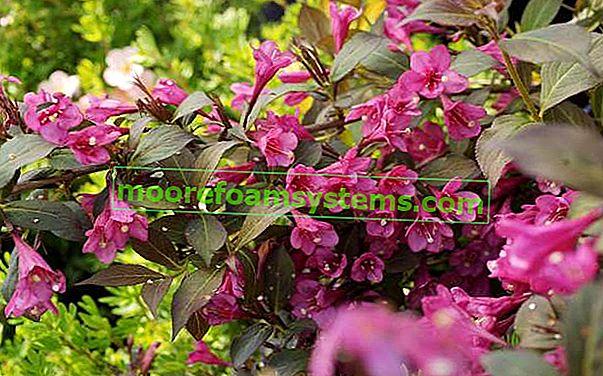 Čudesni grm (weigela) - uzgoj, vrtlarski savjeti, njega, rezanje