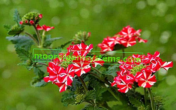 Vrtna verbena - sorte, uzgoj i njega lijepog vrtnog cvijeta