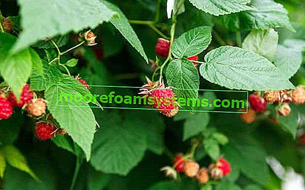Sadnja, rezidba i uzgoj malina u vrtu - savjeti