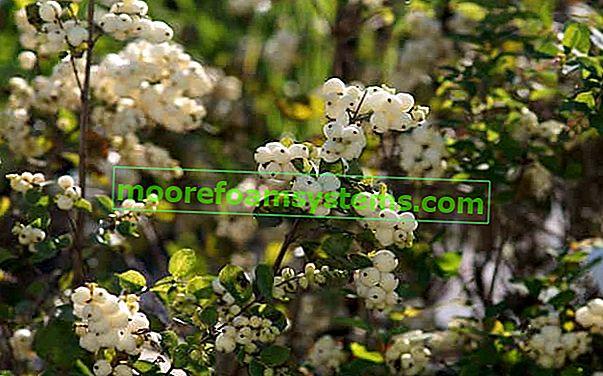 Bijela gruda snijega - opis, karakteristike, sadnja, njega, otrovna svojstva