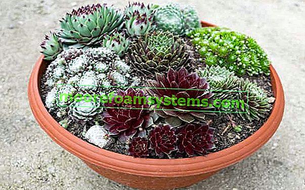 Roj u loncu i vrtu - sorte, uzgoj, njega, zalijevanje