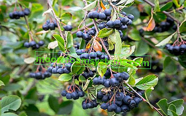 Crna aronija - uzgoj, njega, ljekovita svojstva plodova aronije