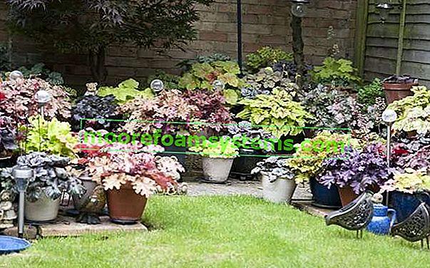 Vrtna spirala - sorte, njega, uzgoj, zanimljivosti