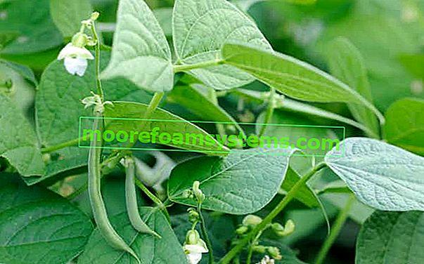 Uzgoj zelenog graha korak po korak - sjetva, njega, prihrana, berba