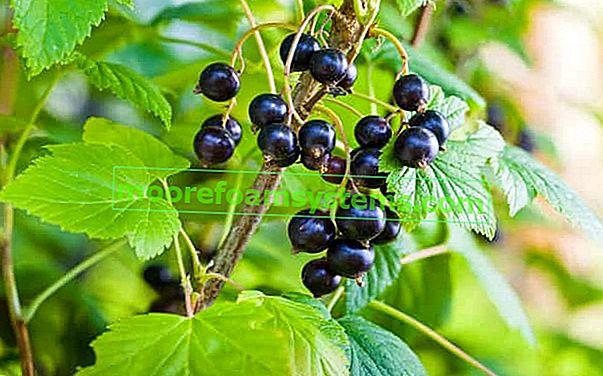 Crni ribiz - sadnja, uzgoj, njega, ljekovita svojstva, vitamini