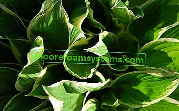 Hosta (funkie) - popularne sorte, uzgoj, njega, savjet