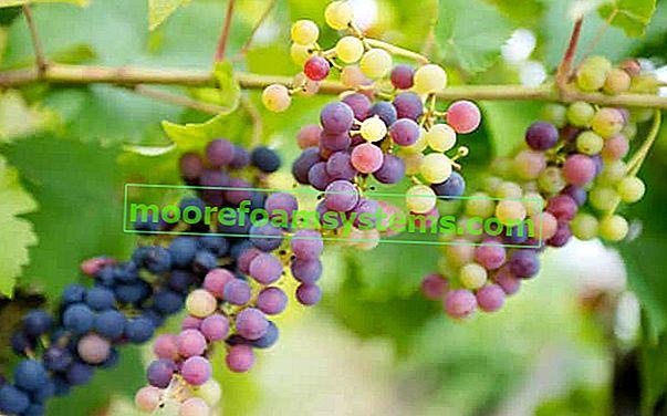 Sadnja grožđa u proljeće i jesen - praktični vodič