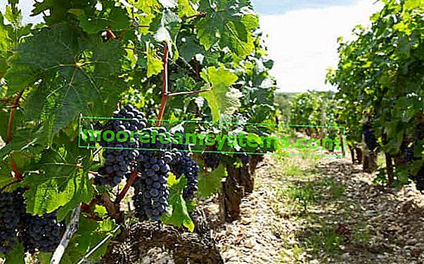 Vinogradarstvo u Poljskoj - najbolje sorte za uzgoj