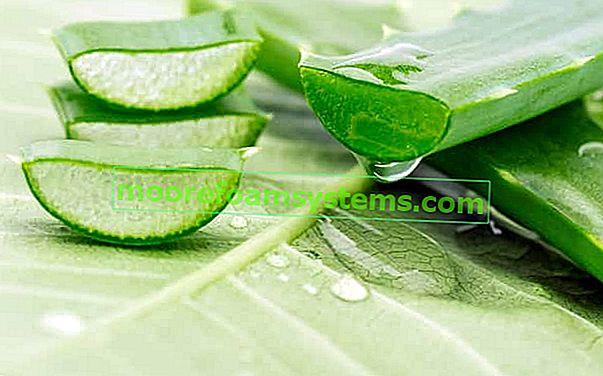Obična aloja u saksiji - uzgoj, njega, zalijevanje, zahtjevi