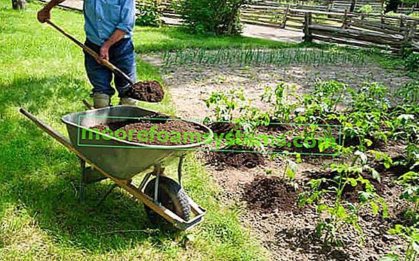 Uzgoj krumpira korak po korak - sadnja, berba, prihrana, savjeti
