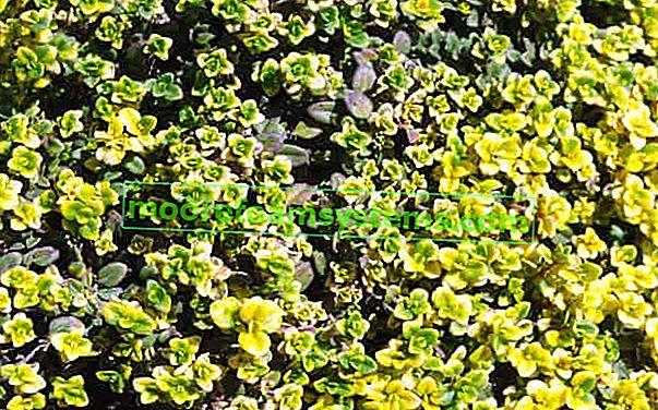 Limunska timijan - uzgoj, njega, primjena