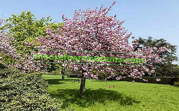 Japanska ukrasna trešnja - opis, sadnja, njega, uzgoj, obrezivanje