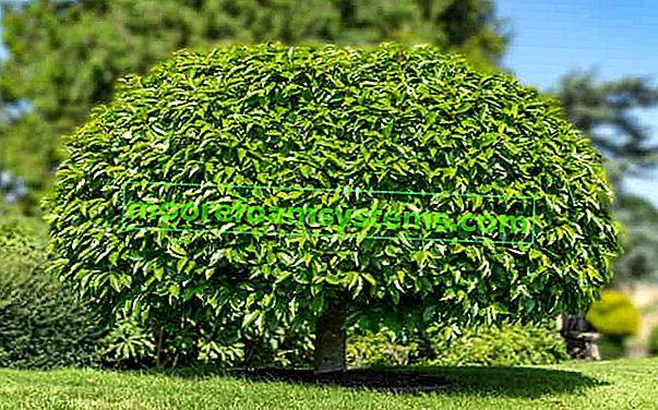 Katalpa (katalpa) - sadnja, uzgoj, njega, bolesti, obrezivanje, razmnožavanje