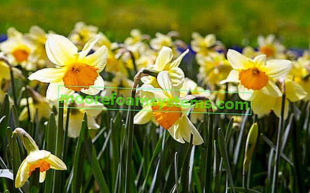 Narcis (narcis narcis) - výsadba, pěstování, péče