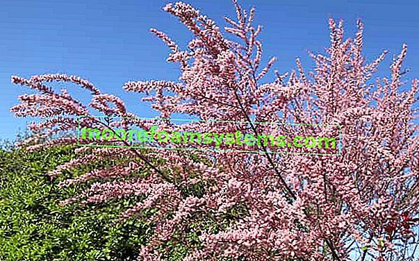 Tamarisk s malim cvjetovima - uzgoj, njega, rezanje grma tamariska