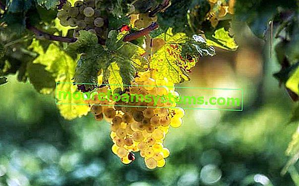 Bolesti grožđa i vinove loze i najbolji načini borbe protiv njih