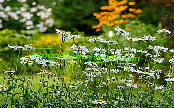 Daisy - uzgoj, briga, zahtjevi, savjeti