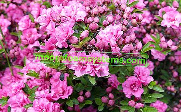 Rhododendron - sadnja, njega, uzgoj i ostali savjeti