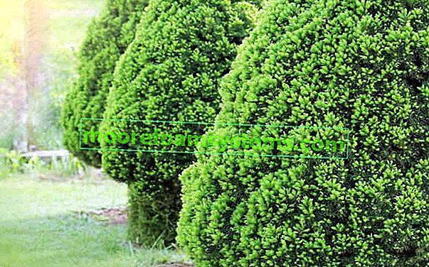 Smreka bijela konika (Picea glauca Conica) - uzgoj, njega, bolesti, savjeti
