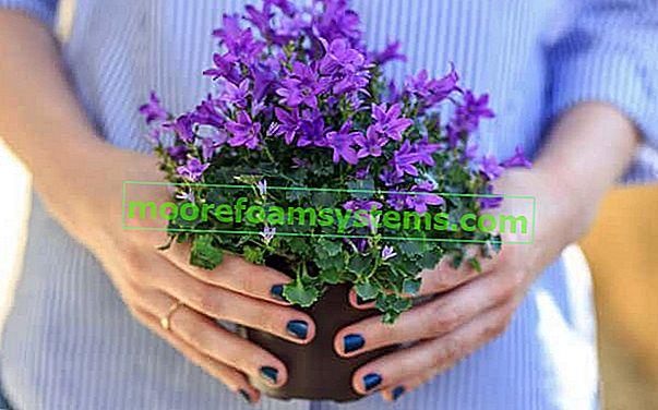 Campanula (kék harangvirág) - fajták, termesztés, gondozás, gyakorlati tanácsok