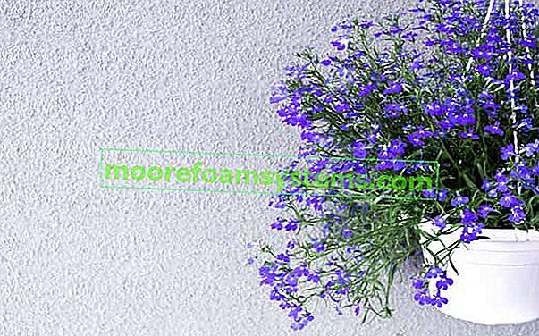 Viseća lobelija - zahtjevi, uzgoj, njega, cvjetanje, savjeti