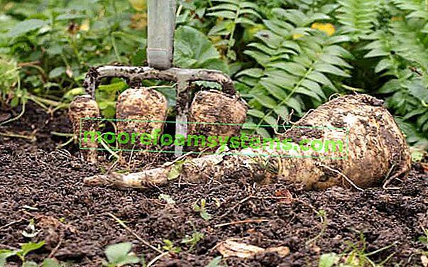 Peršin - sorte, uzgoj, ljekovita svojstva, sličnosti s peršinom