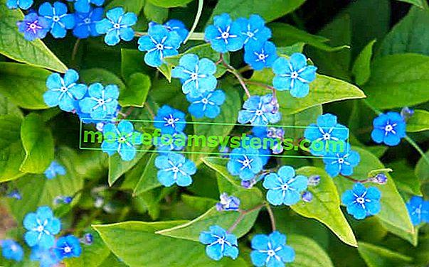 Proljetna iluzija - sadnja, njega, uzgoj, zahtjevi