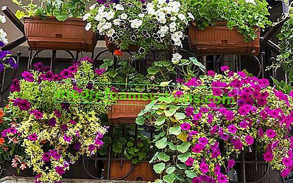 Kada saditi cvijeće za balkon