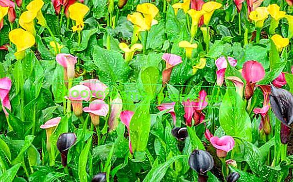 Vrtna kala - uzgoj i njega lijepog vrtnog cvijeta
