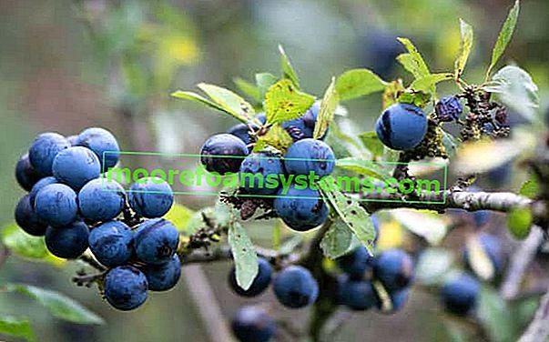 Kupina šljiva - upotreba ploda trnina, najbolje konzerve, sokovi i tinktura crnog trna