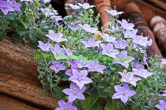 Platycodon (širenje velikih cvjetova) - uzgoj, njega, svojstva