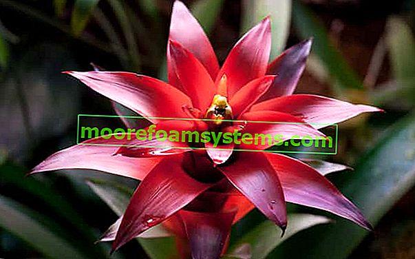 Bromeliada u saksiji - prekrasan cvijet u saksiji - uzgoj, njega, zalijevanje