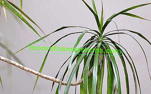 Zmajevo drvo (zmajeva dracaena) u loncu - uzgoj, uzgoj, briga, savjet