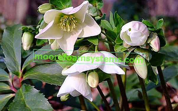 Bijela kukuljica bijela - zahtjevi, uzgoj, njega, praktični savjeti